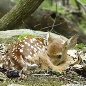 Study: fawn survival