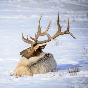 Elk winter feeding grounds challenged