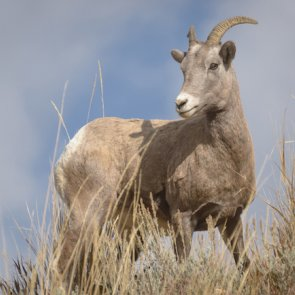 Pneumonia outbreak: Montana sheep