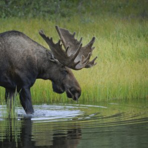 Alaska fire impacts moose populations