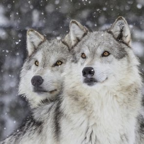 Wolf restoration sparks controversy