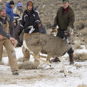 Energy development displaces elk, mule deer