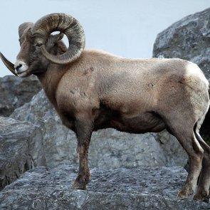 Are Alberta's sheep shrinking?
