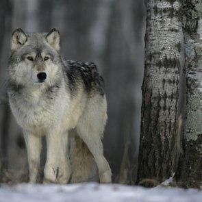 Idaho says no to agency wolf hunting