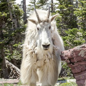 Goat goring prompts plan