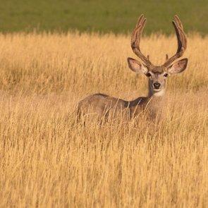 North Dakota pushes mule deer rebound