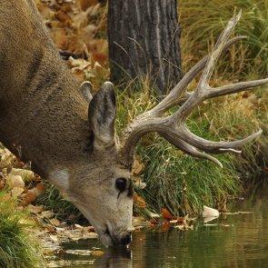 Utah buck outlook is promising