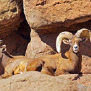 Zion National Park seeks comments on desert bighorn sheep strategy
