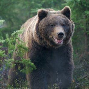 Will grizzlies return to Washington?