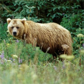 What will be the fate of the Cabinet-Yaak grizzlies?