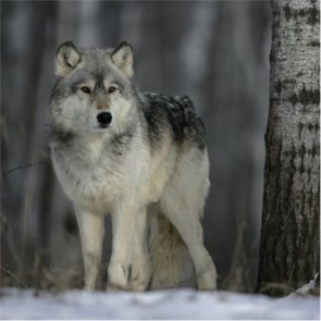 Delist the Great Lakes gray wolves?