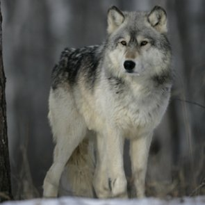 Wolf management plan under review in Minnesota