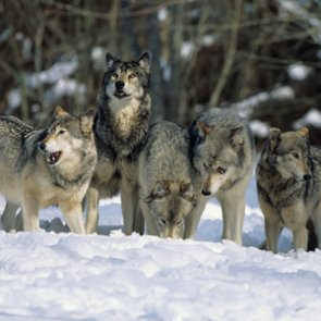 No more federal protections for gray wolves?