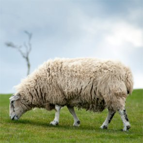 Court upholds ban on domestic sheep grazing