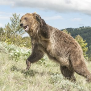 Man attacked by grizzly bear in Montana backcountry