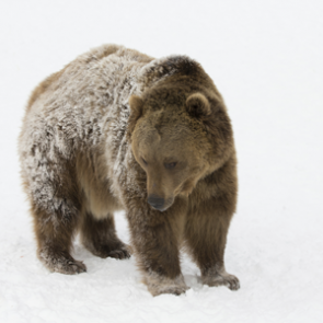 Grizzly bears and climate change