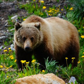 A new way to count Greater Yellowstone grizzly bears?