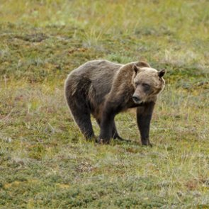 Are grizzly bears expanding their territory?