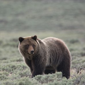 Cabinet-Yaak grizzlies reclaim federal protection