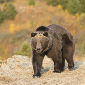 Government takes on active role in grizzly bear management