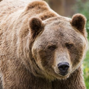 Montana's largest grizzly bear population may lose federal protections