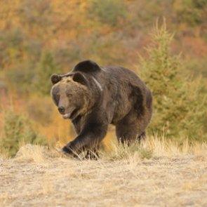 Grand Teton officials relocate problem grizzly bear