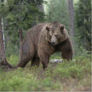 Will there be a great grizzly bear hunt?