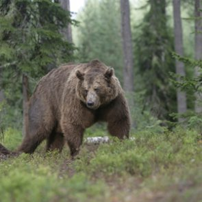Idaho residents: the grizzly bear application period is open