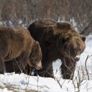 Two grizzlies euthanized following livestock depredation