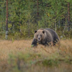 Black bear hunters kill grizzlies by mistake