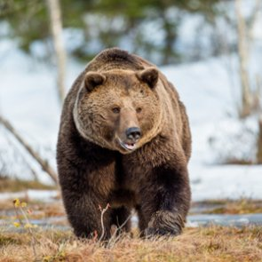 Montana kills three grizzly bears because of livestock depredation