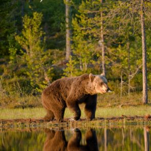 FWS sued over possible killing of grizzly bears near Yellowstone