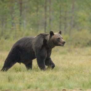 Grizzly bears expanding range in Wyoming