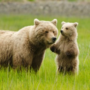 Yellowstone grizzly bears lose federal protections