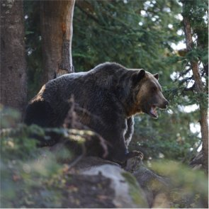 Washington man guilty of killing protected grizzly bear
