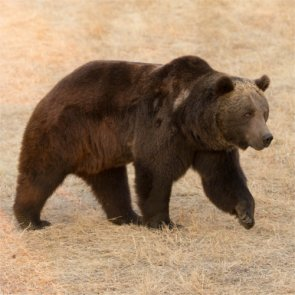 Idaho hunters may get chance to hunt grizzlies