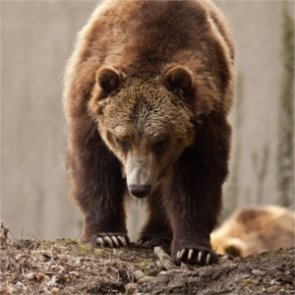 Montana's grizzly bear hunting regs are in place
