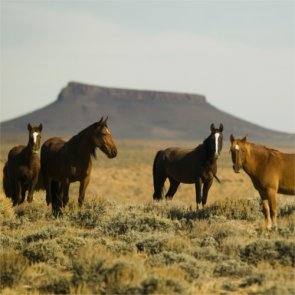Another wild horse roundup?