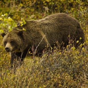 Understanding hunting in grizzly habitat