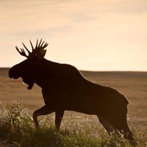 Idaho camper kills charging bull moose