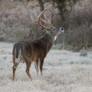 Idaho anticipates good year for whitetail deer and elk
