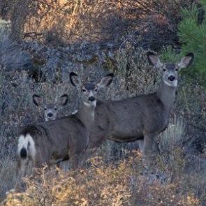 Idaho finds above average winter survival rates in fawns and calves