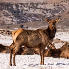 Idaho proposes elk hunt on Camas National Wildlife Refuge
