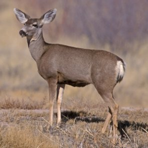 Survival rates for mule deer fawns and elk calves are above average