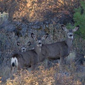 Idaho mule deer fawn and elk calves doing well