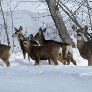 Good fawn recruitment for Idaho mule deer