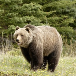 Officials investigate mysterious death of Yellowstone grizzly