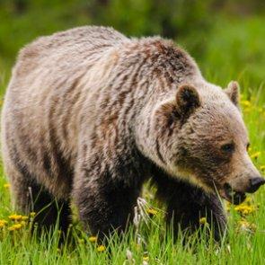 Idaho considers grizzly bear hunt