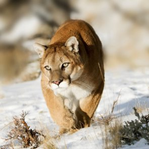 Study finds mountain lions kill more than wolves