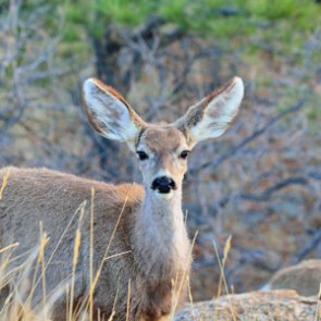 Game warden rescues mule deer from mud pit